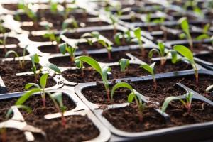 De jeunes plants sous mini serre de jardin